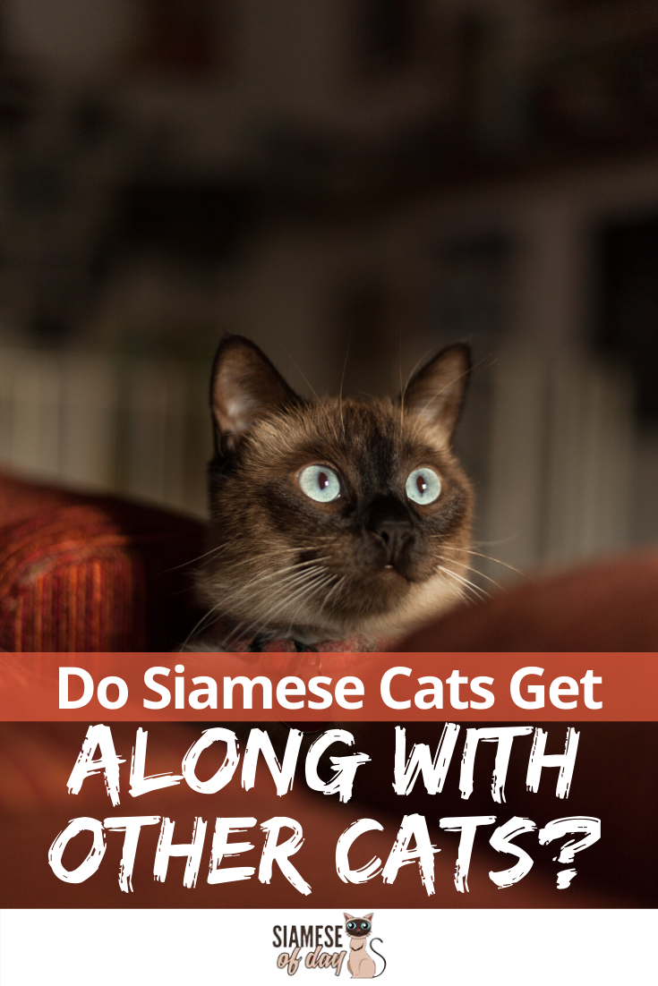 Do Siamese Cats Get Along with Other Cats Siamese cats
