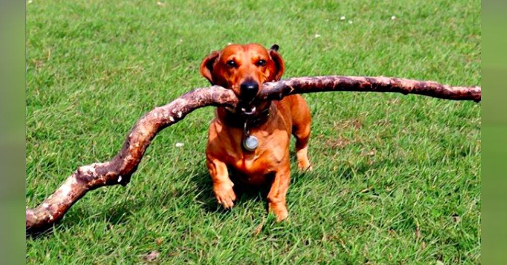 Mighty Dachshund Carries Sticks That Are Over Three Times His Size