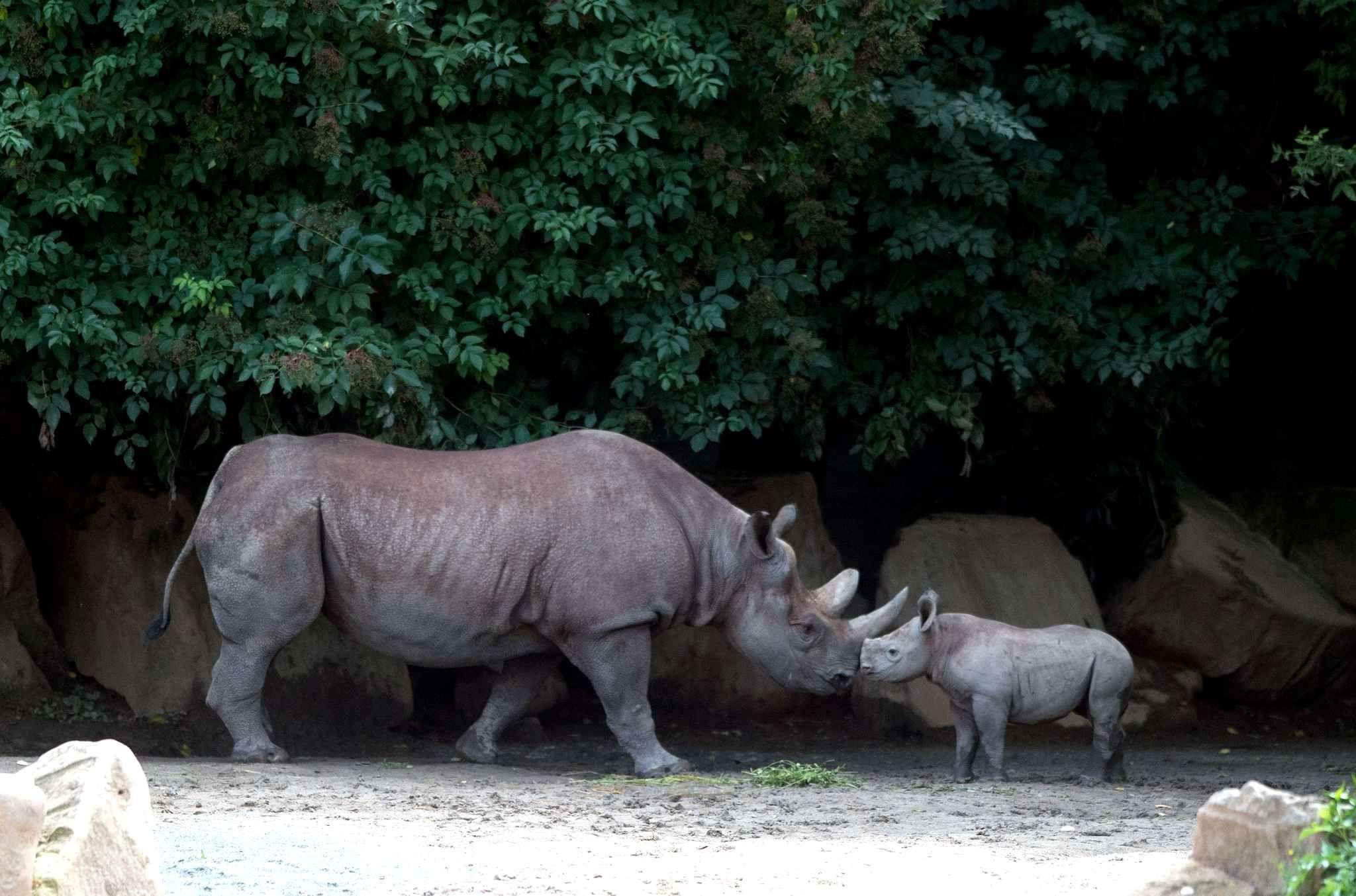 Un jeune rhinocéros noir fait face à un adulte au zoo deDvur Kralove nad Labem en république tchèque.