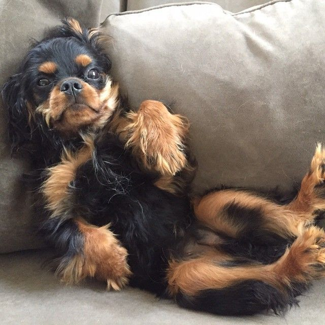 Yup This Is How I Roll Over Cavalier King Spaniel King Spaniel King Charles Cavalier Spaniel Puppy