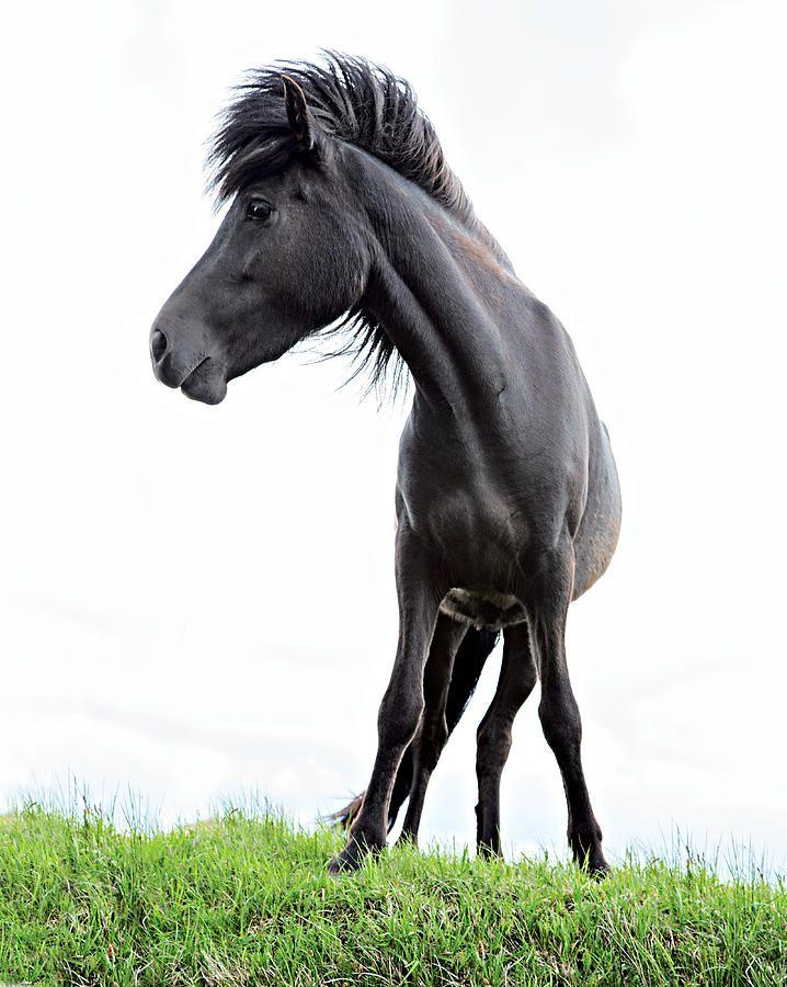 Black Icelandic Horse Photograph Iceland By Dirk Ercken Pferde Reiten