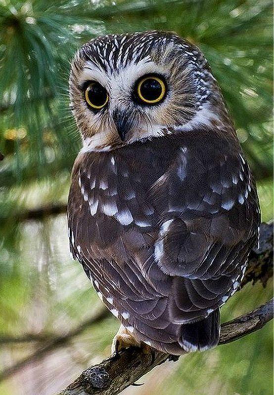 Картинки красивая сова