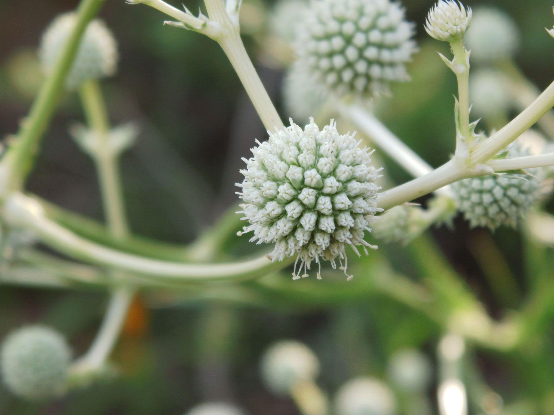"""Flor Silvestre Sur De Chile """"wildflower Southern"""