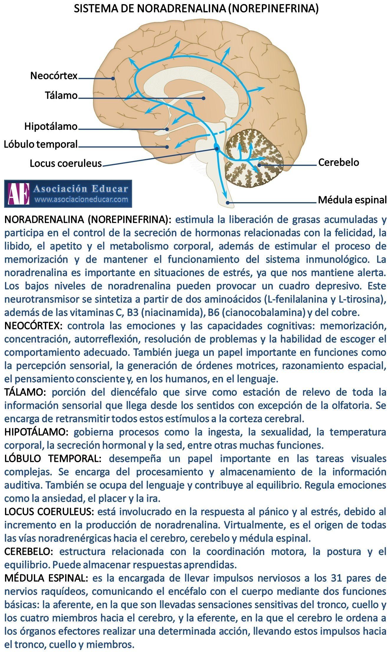 Infografía Neurociencias: Sistema de noradrenalina (norepinefrina ...