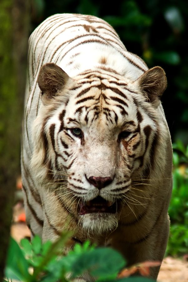 The eyes of the white tiger