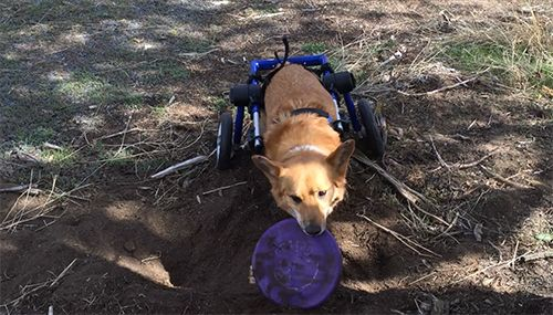 Pet Of The Week Chico Dog Wheelchair Pets Your Dog