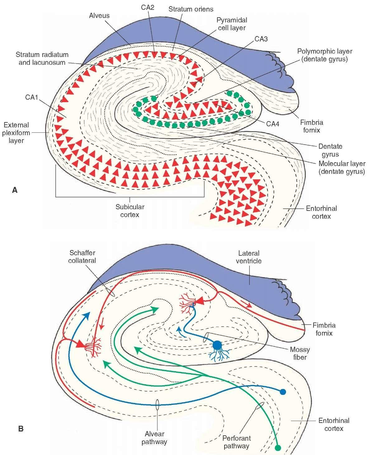 Hippocampus Anatomy Google Search Systems Anatomy Diagram Brain