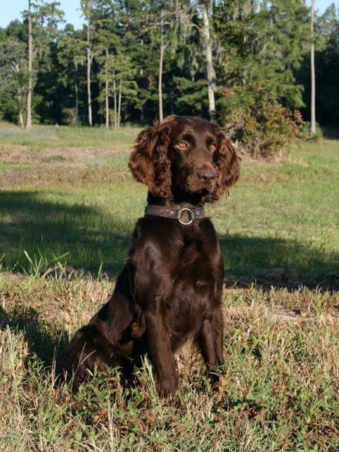 Boykin Spaniel Swamp Poodle Lbd Little Brown Dog
