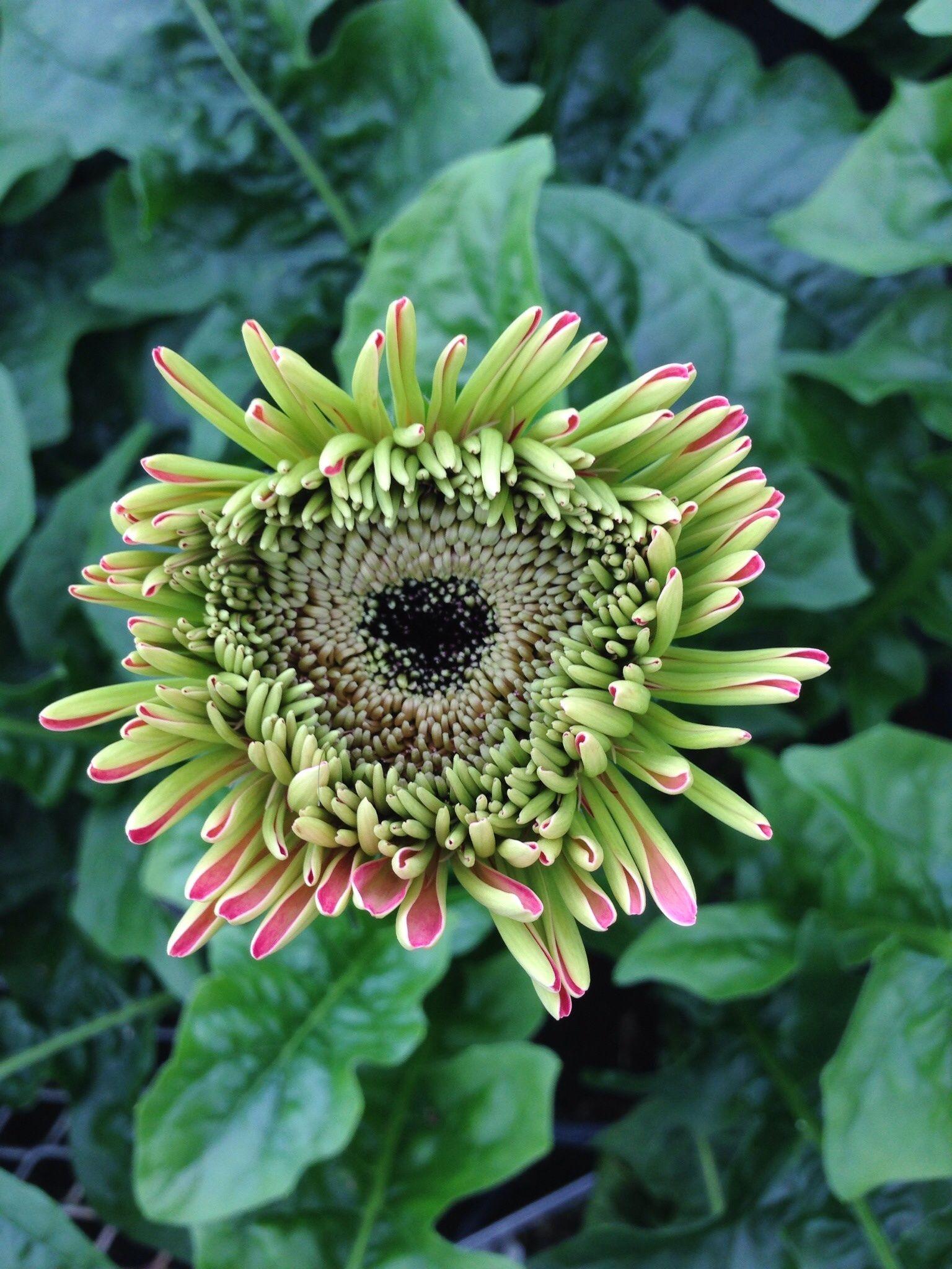Pin By Klepac Greenhouses Inc On Gerbera Daisies Gerbera Daisy Daisy Love Daisy