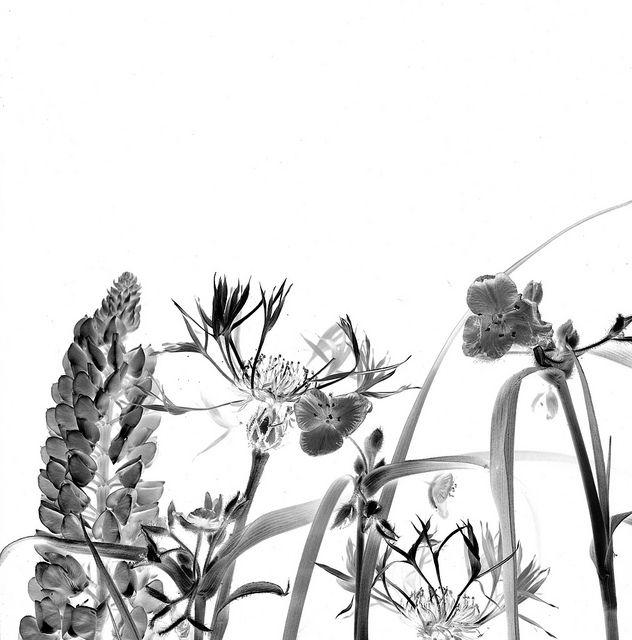44630 Lupinus perennis, Tradescantia virginiana, Centaurea montana | Flickr: Intercambio de fotos