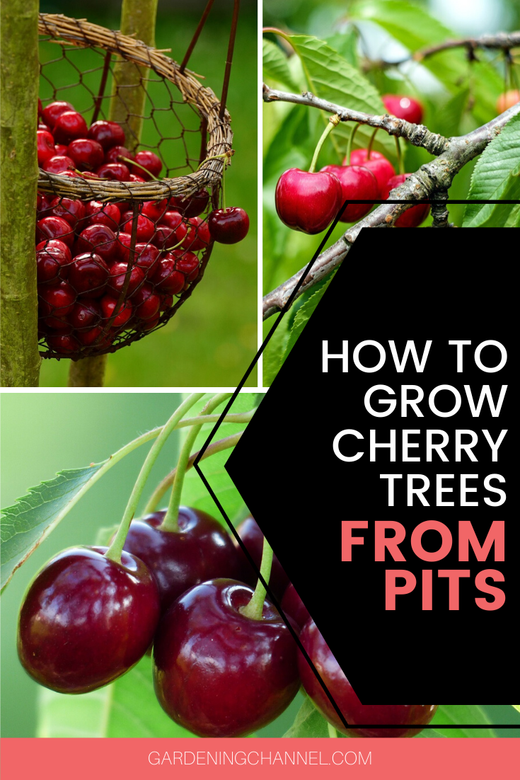 How To Grow Cherry Trees From Pits Gardening Channel Growing Cherry Trees How To Grow Cherries Growing Fruit Trees