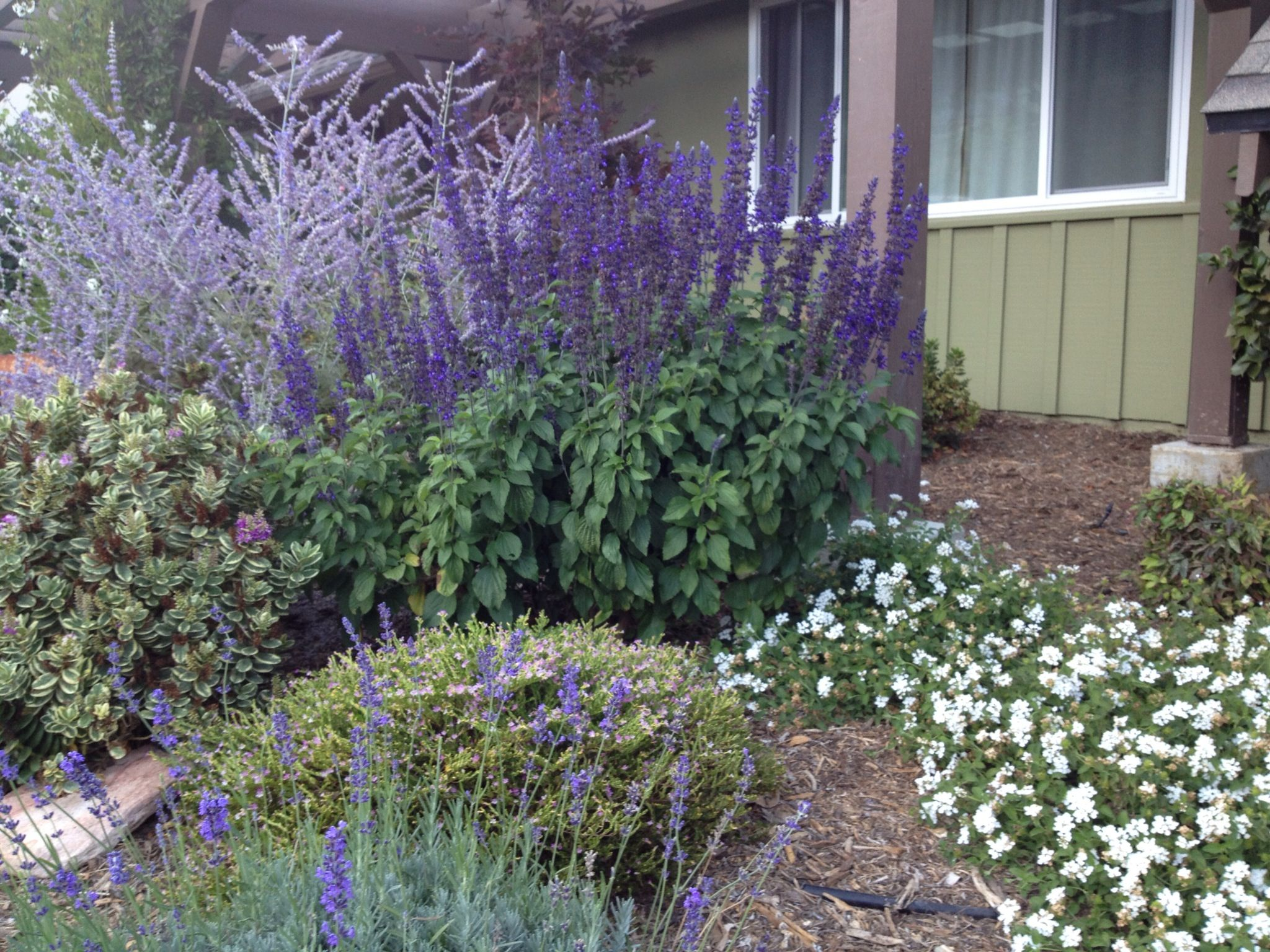 Salvia, Russian sage, lavender, white lantana and rocks