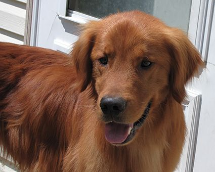 Kobe Waterville Ohio Golden Retriever Rescue Resource