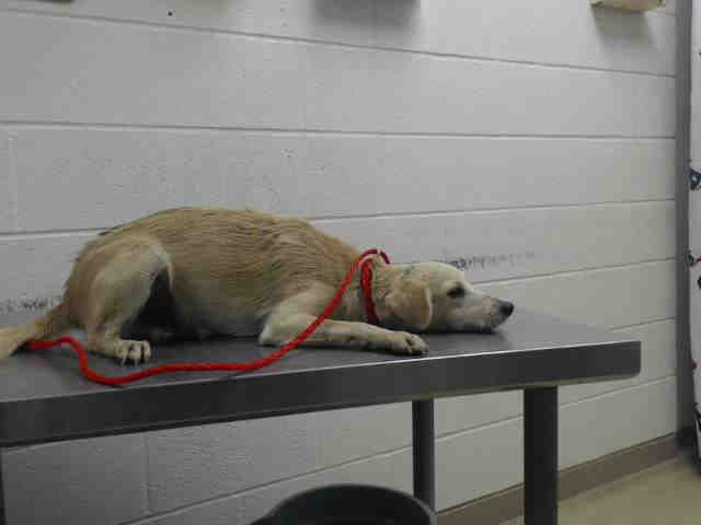This Dog Id A468119 Urgent Harris County Animal Shelter In Houston Texas Dog Adoption Animal Shelter Homeless Pets