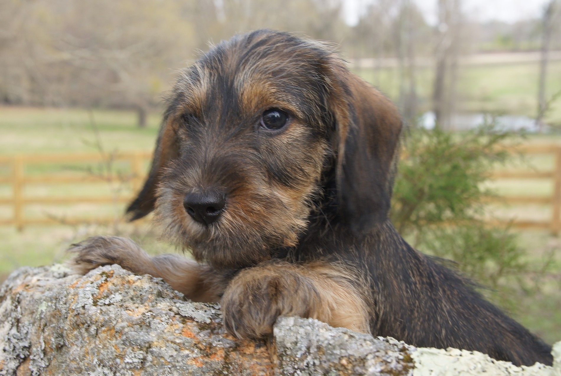Willow Springs Miniature And Standard Wirehaired Dachshunds