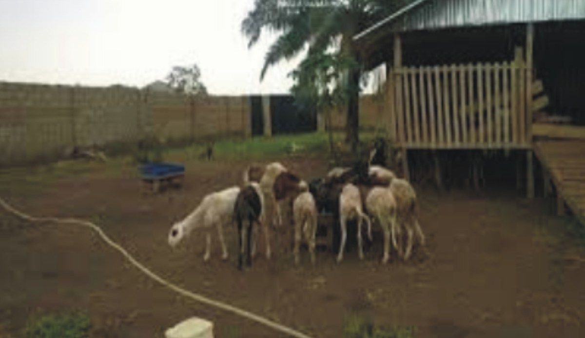 Goat Farming Business Plan In Nigeria PDF (With images