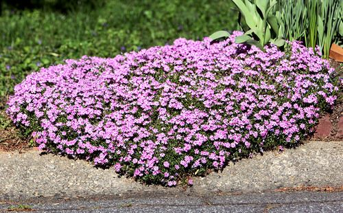 Creeping Phlox Phlox Subulata Is A Low Growing Ground