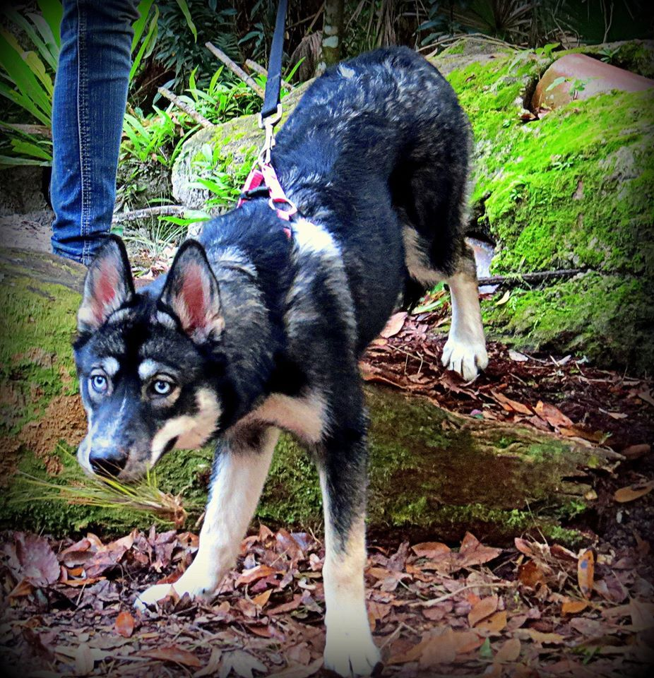 Raven All About Raven Pinterest Husky Agouti Husky And Dogs