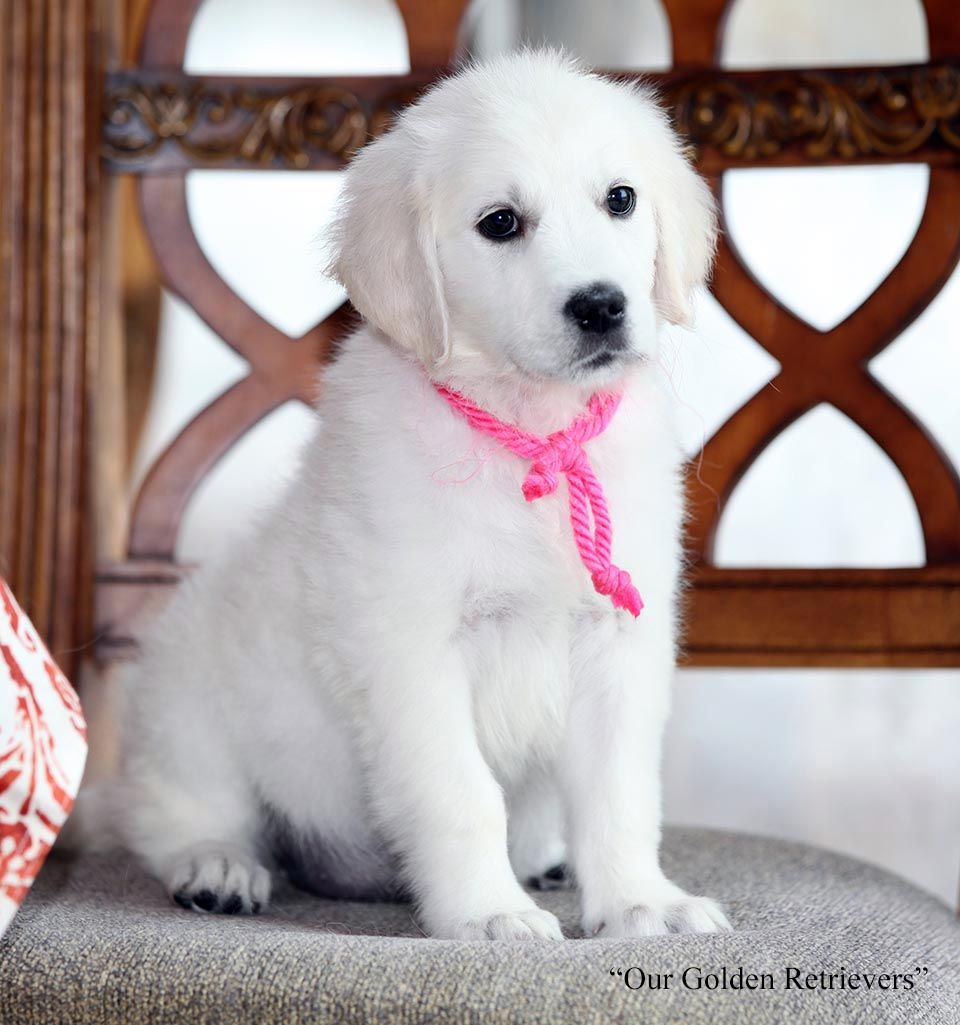 White Golden Retriever Puppiesctakc Certifiedholisticnjmdmapa