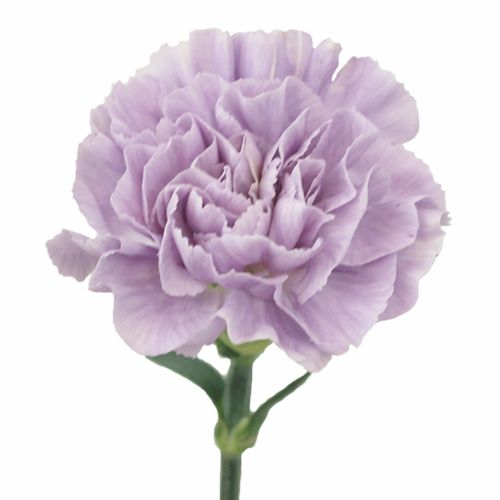 Lavender Light Purple Carnation Flowers
