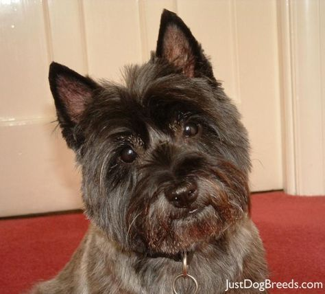 Black Cairn Terrier Cairn Terrier Terrier Breeds Westie Dogs