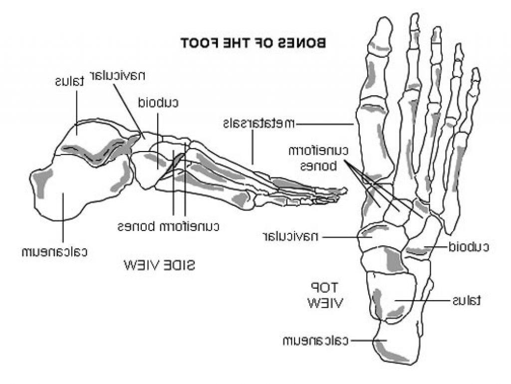 Left Foot Bones Diagram