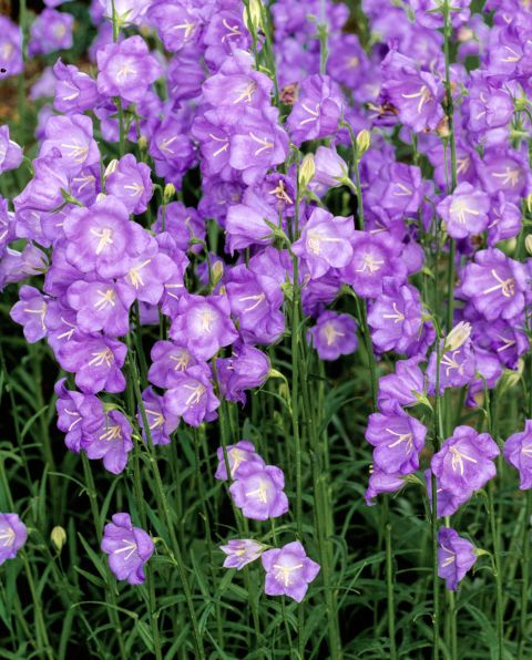 7 perennials that will bloom multiple times this summer perennials 7 perennials that bloom all summer campanula persicifolia zones bloom time june then six weeks later to prune snip spent flowers promptly mightylinksfo