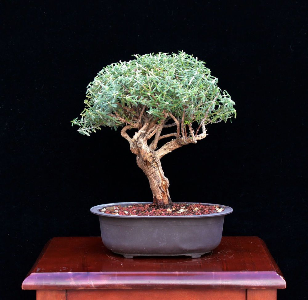 Details About Olive Tree Bonsai With Water Tray And Fertilizer
