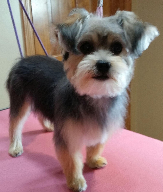 Miss Lola Yorkiex Groomed By Shag To Swag Dog Spa Plymouth Mn