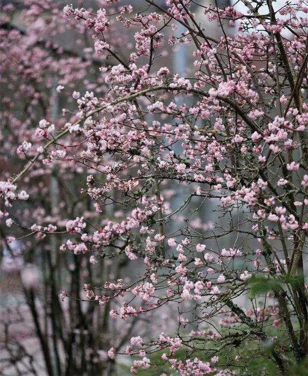 Winter Viburnum Pretty In Pink Gardenista Winter Shrubs Winter Plants Winter Garden