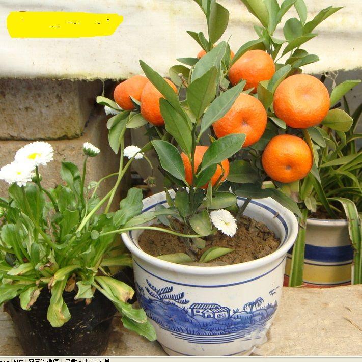 Free Ship 10 Seeds Balcony Patio Potted Fruit Trees Planted Seeds Kumquat  Seeds Orange Seeds Tangerine