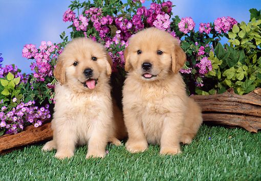 Pup 08 Fa0021 01 C Kimball Stock Golden Retriever Puppies Sitting