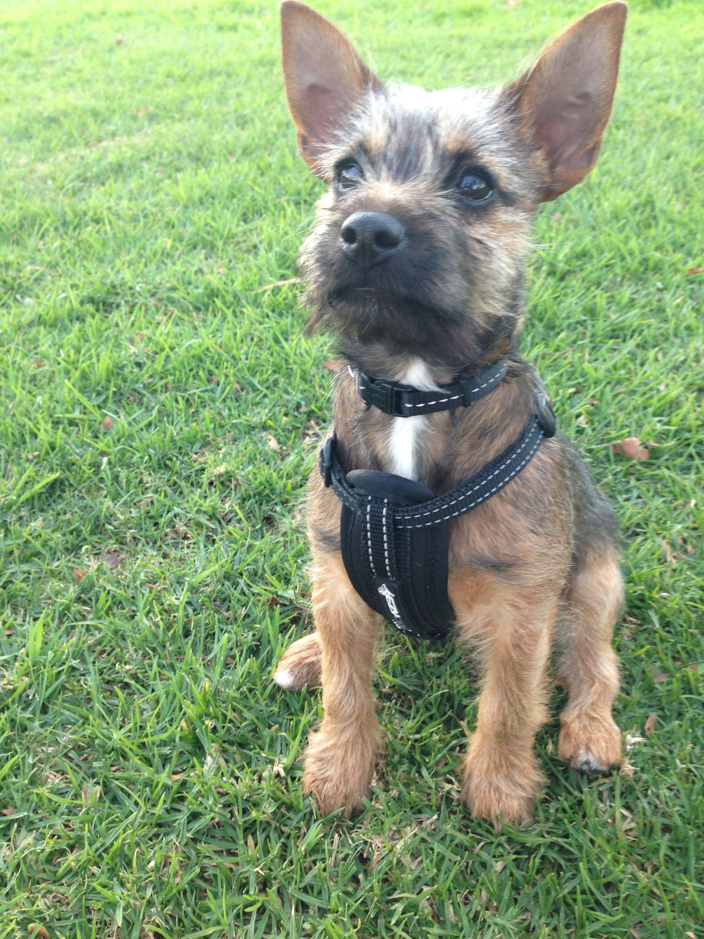 My Darling Jack Russell X Border Terrier Gough
