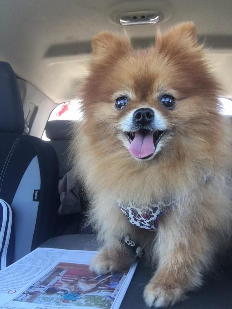 Gidget is an adoptable Pomeranian searching for a forever family near Norman, OK. Use Petfinder to find adoptable pets in your area.