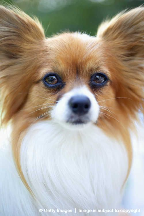 A Picture Of A Dog Bread Called Papillon