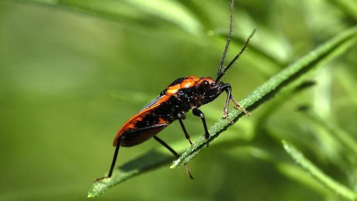 How Do You Kill Boxelder Bugs? | Box elder bugs, Bugs, Animals