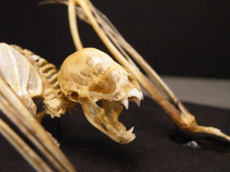 Vampire bat skeleton face - Vampire bat - Wikipedia, the free encyclopedia
