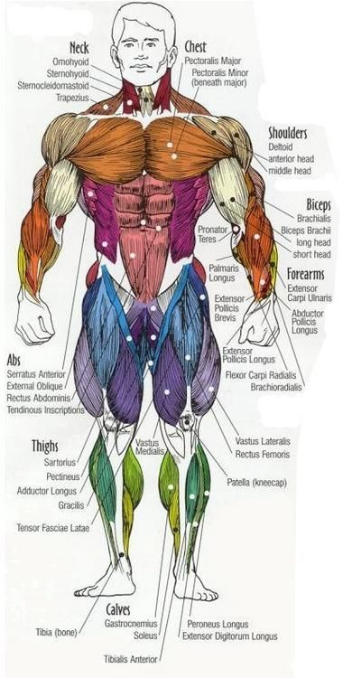 Major muscles of the body, with their COMMON names and SCIENTIFIC ...