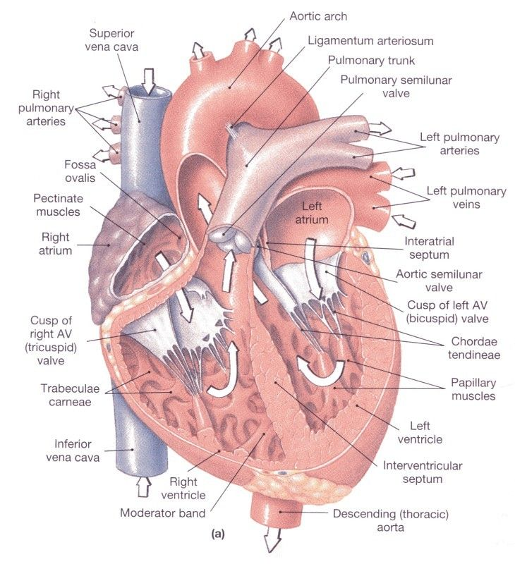 anatomy of the heart | HeartFacts.co.uk » Heart physiology/anatomy ...