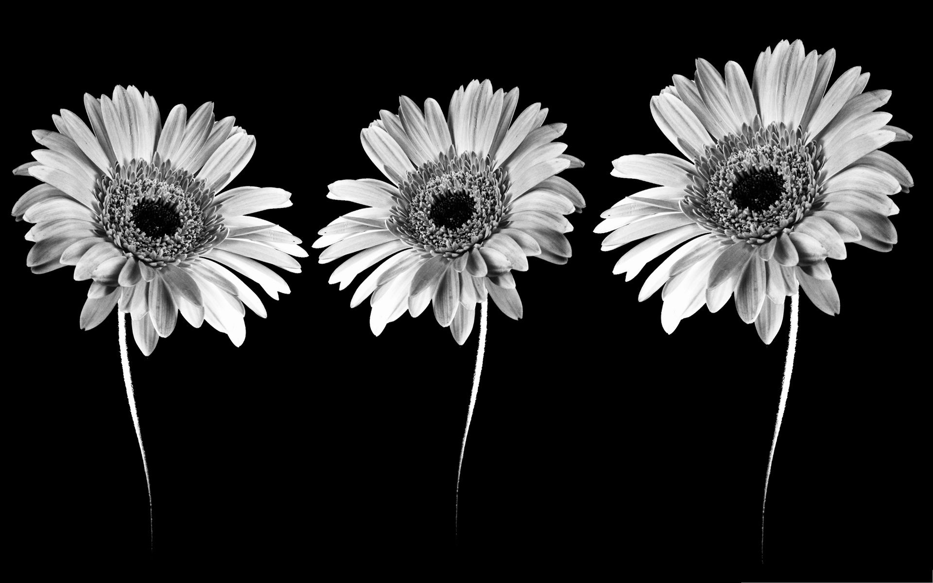Black and white flowers wallpapers HD Hd wallpaper