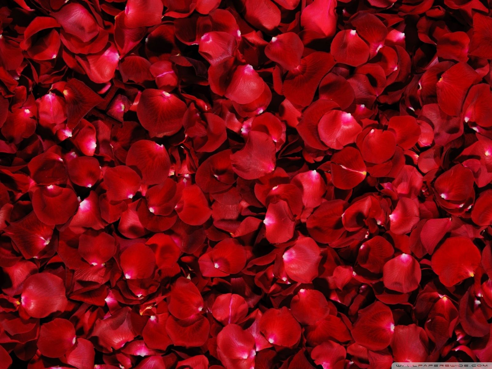 red roses most popular rose rose wallpapers beautiful rose red | hd