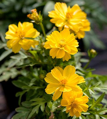 Not Only Are Cosmos A Cottage Garden Favorite They Re Also A Magnet For Pollinators Cosmos Flowers Yellow Flowers Flowers