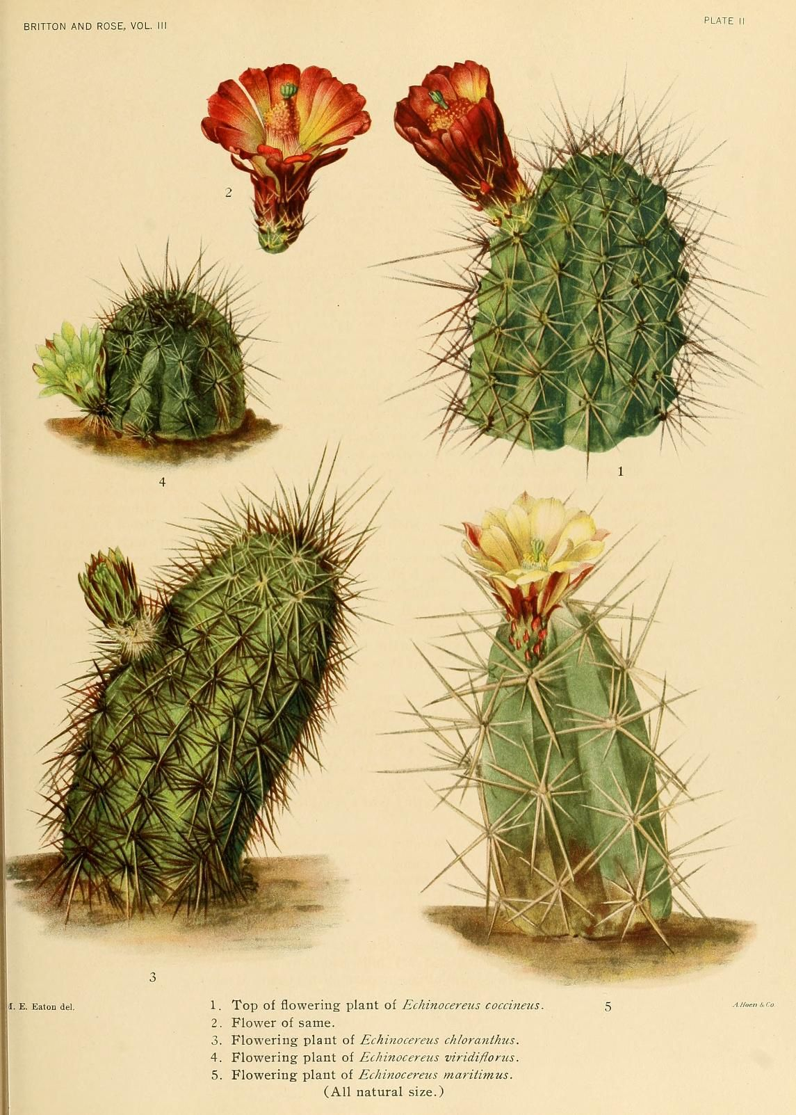 v.3 - The Cactaceae : - Biodiversity Heritage Library