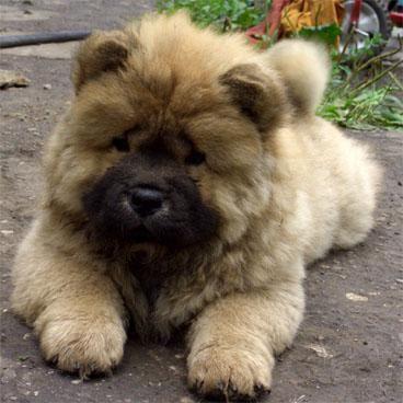 Chow Chow Beauty Caucasian Shepherd Dog Chow Chow Dogs Dogs