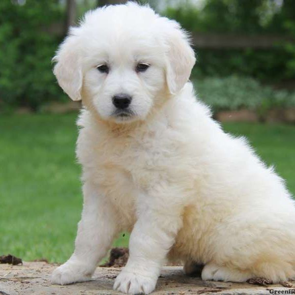 English Cream Golden Retriever Puppies For Sale Greenfield