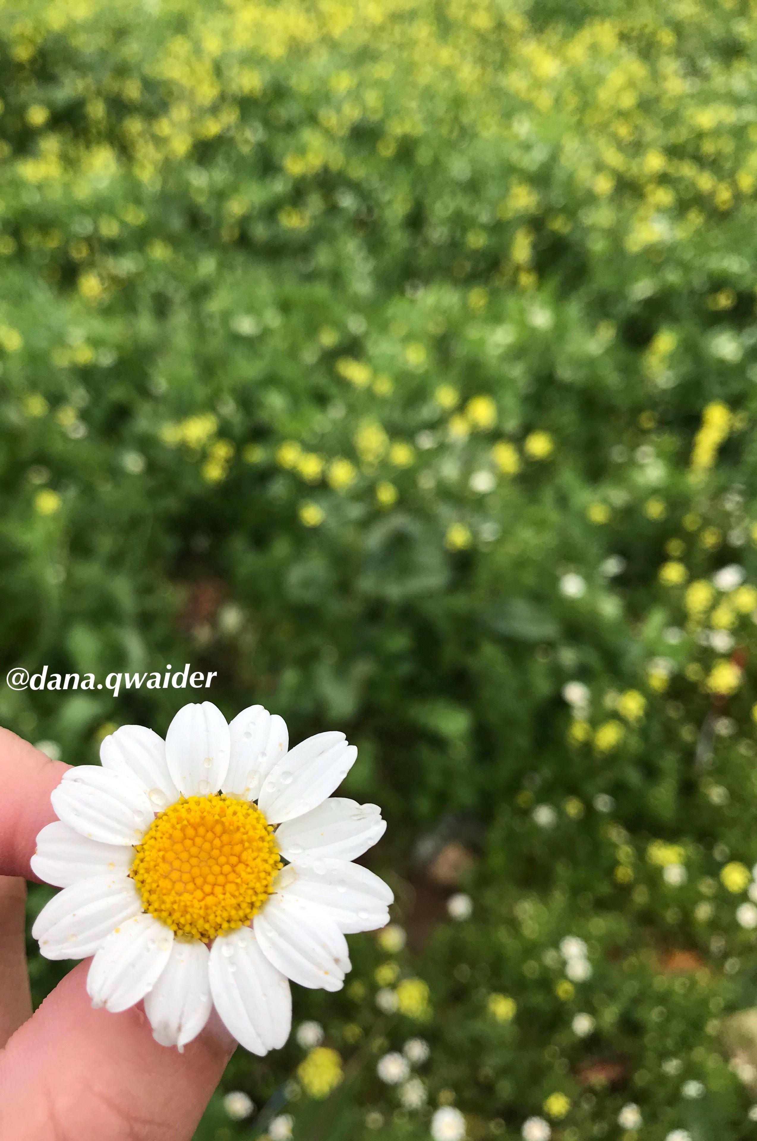 Chamomile Daisy Flower زهرة الأقحوان Daisy Plants Flowers