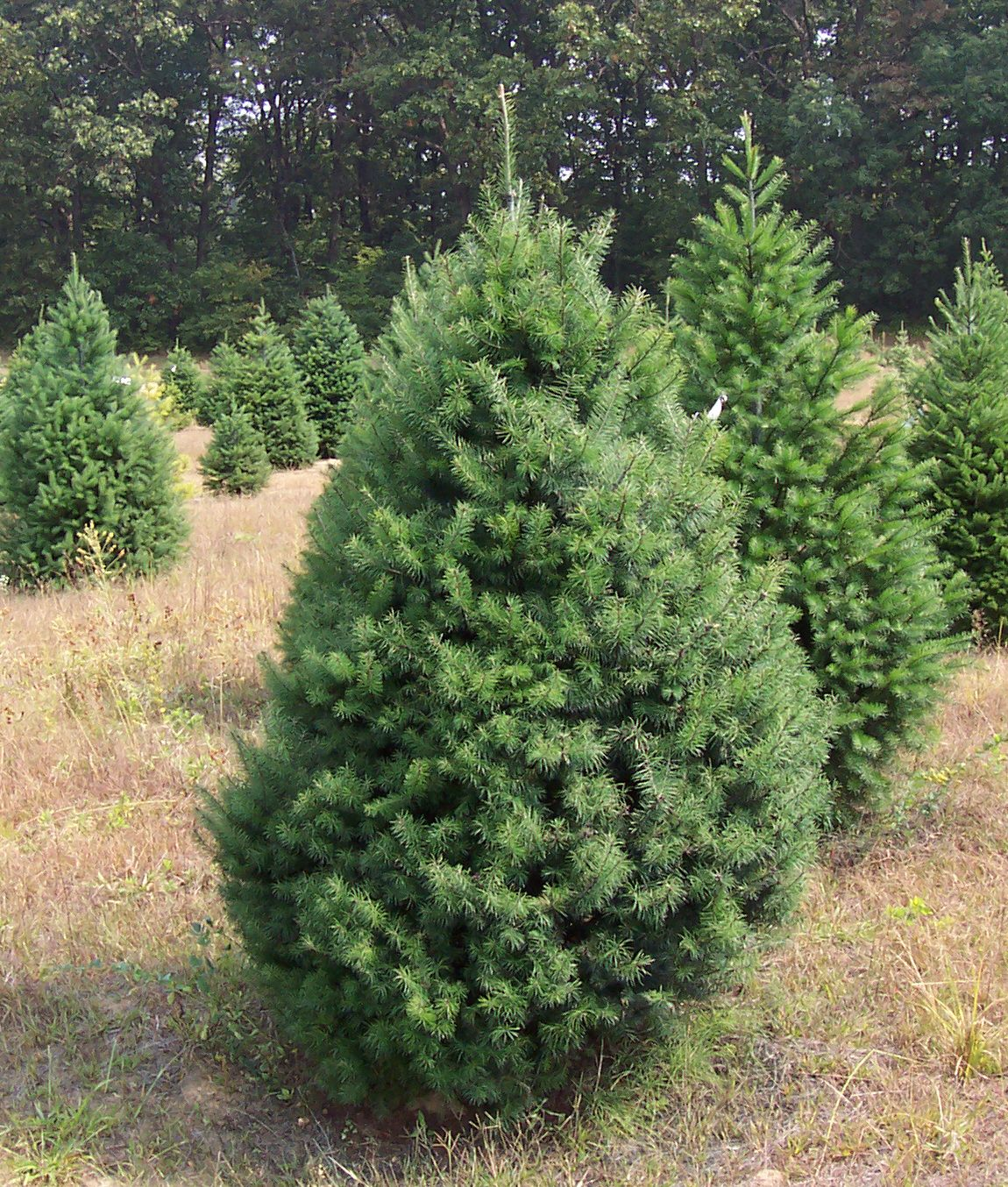 in 2012 46 million christmas tree seedlings were planted by us growers more than 2000 trees are usually planted per acre on average 1000 1500 of - How Many Christmas Trees Per Acre
