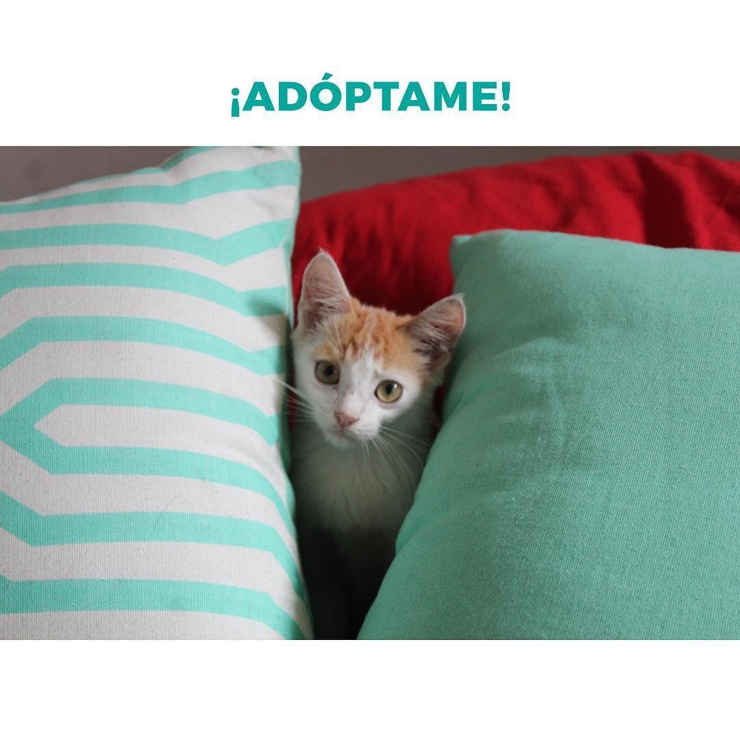Conchita es una gatita muy cariñosa que necesita un hogar. Le encanta jugar come solita y sabe usar caja de arena. Escribe al 0981725155 (solo whatsapp) si puedes adoptarla!  Si quieres ayudar a Conchita repostea esta foto!  #love #cats #instacat by danimorah