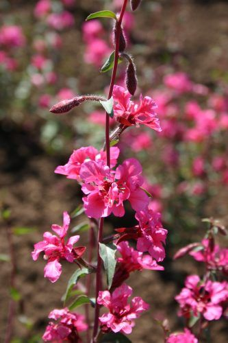 Clarkia Elegant Double Pink Direct Seed In Nutrient Poor Soil In Early Spring Like Godetia It Will Not Flower Well In Rich Seed Company Spring Bulbs Plants