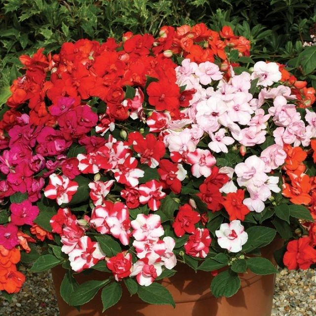 PETUNIA  BUSY LIZZIE  GERANIUM  BEGONIA  SWEET WILLIAM LOBELIA GAZANIA  SUMMER GARDEN READY PLANTS BEDDING BORDER AND HANGING BASKET  FREE UK DELIVERY